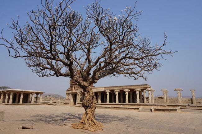 Развалины храмов и ещё одно прекрасное дерево