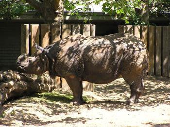 Берлин. Зоопарк. Носорог