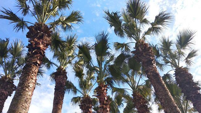 Пальмы в Сочи