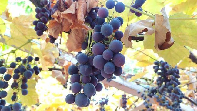 Вкуснейший виноград