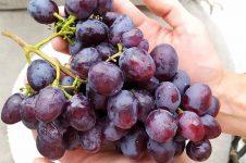 Кубанский виноград